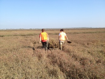 Moving marsh turfs to lower elevations